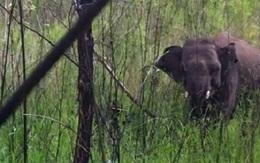 Thương lắm chú voi nhỏ bị dính bẫy thú