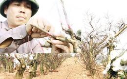 Gai người với giá 10 triệu đồng một bông đào Tết