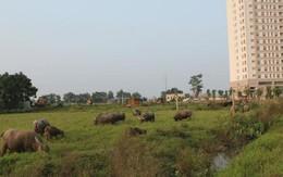 Chăn trâu kiếm hàng trăm triệu đồng giữa Hà Nội