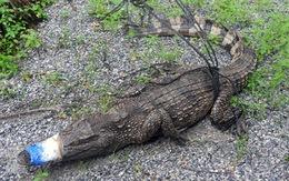 CSGT đi tuần, phát hiện cá sấu nằm giữa đường