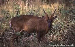 Phát hiện loài sao la quý hiếm ở rừng Quảng Nam
