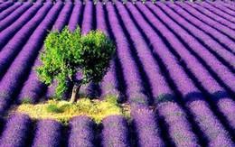 Ngắm cánh đồng hoa oải hương tuyệt đẹp ở Pháp