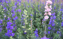 Truyền thuyết về hoa Violet