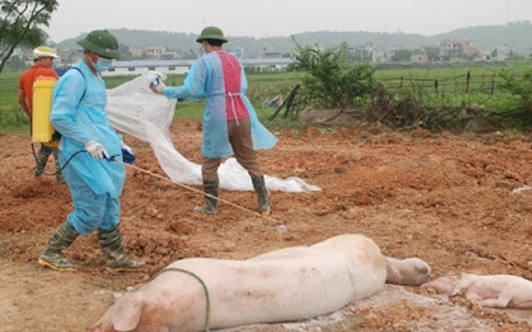 Quý 3/2021, Việt Nam sẽ có vaccine dịch tả lợn châu Phi