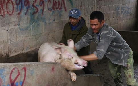 """Nghịch lý giá lợn hơi """"tăng đà"""" do tiểu thương bán tháo chạy dịch?"""