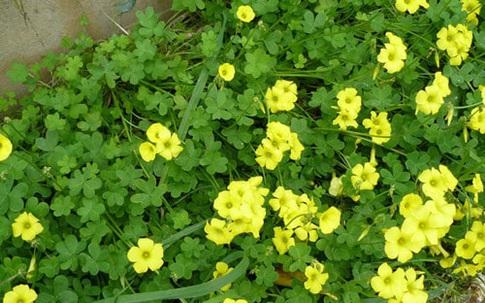 12 bài trị ho sốt, viêm họng rất hiệu quả từ loài cây hoa vàng lá xanh đẹp mắt mà không mấy ai biết