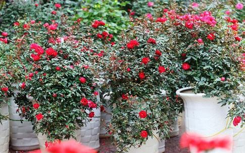 Những chậu hoa hồng giá rẻ hút người mua dịp cận Tết