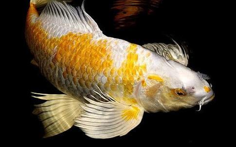 Cá chép thân dài 1m, vảy ánh kim giá 200 triệu đồng