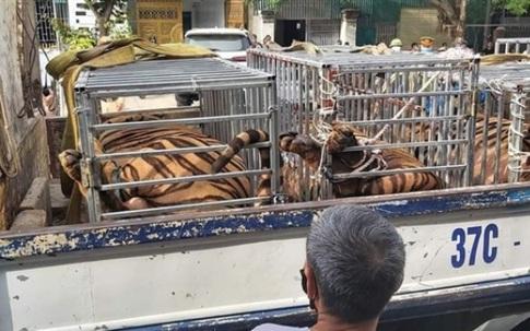 Nghệ An: 8/17 con hổ trưởng thành sau giải cứu đã chết