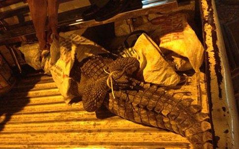 Cá sấu giãy giụa trên đường phố trung tâm Sài Gòn