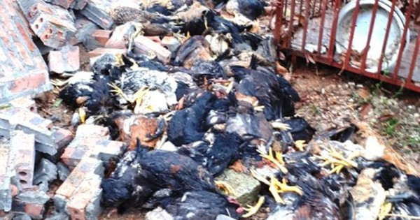 Lốc xoáy làm sập trại nuôi 3.000 con gà ở Hải Dương