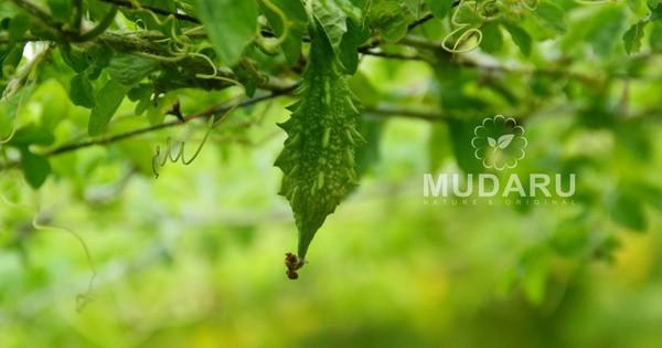 Mudaru – Thương hiệu mướp đắng rừng giúp hạ đường huyết mới cho người bệnh tiểu đường