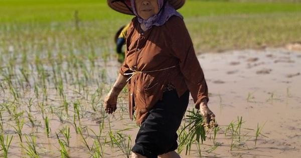 VIDEO: Cụ già gần 90 vẫn đi cấy, đan lưới phăng phăng giữa ngày hè 40 độ khiến giới trẻ ngưỡng mộ