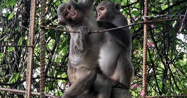 Bầy khỉ mình đầy thương tích sống lay lắt ở bán đảo Sơn Trà bây giờ ra sao?