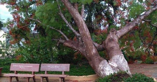 Cây phượng cổ thụ bật gốc trong sân trường ở Đồng Nai