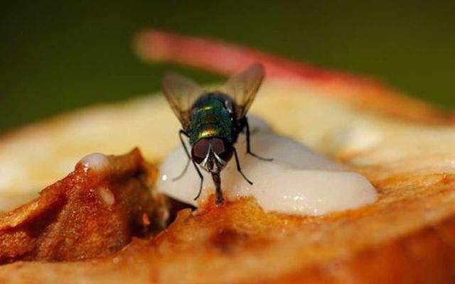 Điều hãi hùng mà bạn có thể gặp phải khi lỡ ăn thức ăn bị ruồi đậu lên