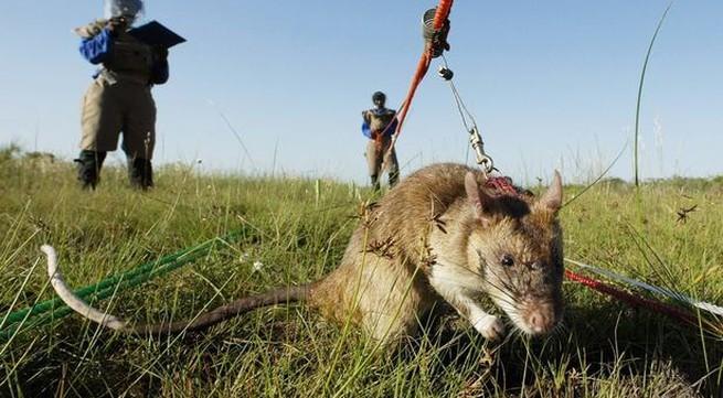 Rùng mình cảnh tượng chuột khổng lồ rà phá bom mìn