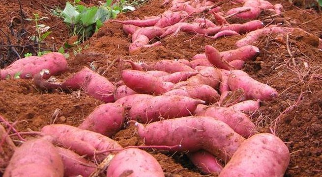 Nông dân Đắk Lắk mang cả đồng khoai ế lên chợ mạng