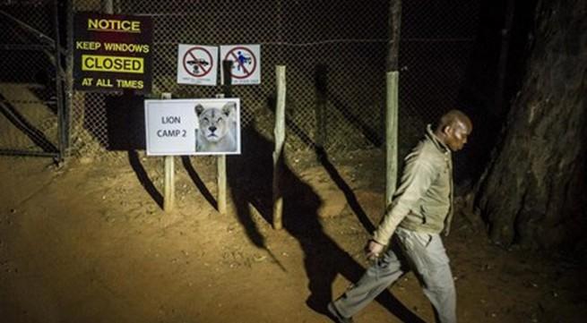Một khách du lịch bị sư tử vồ chết trong công viên