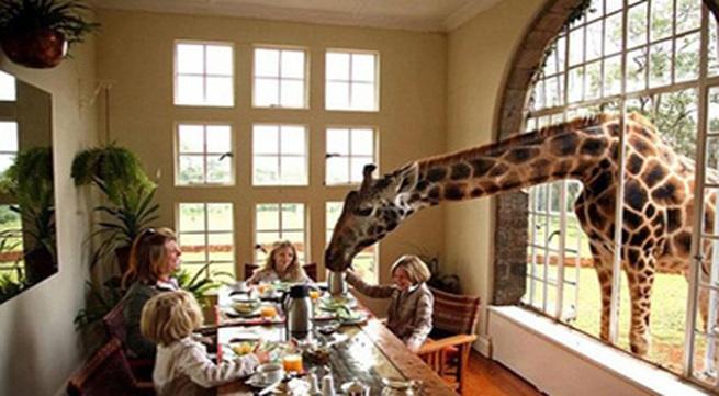 Vào khách sạn để được ăn sáng với hươu cao cổ