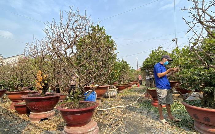 TP.HCM: Cận cảnh nhà vườn tất bật chăm mai bung nở đúng ngày Tết - mega 655